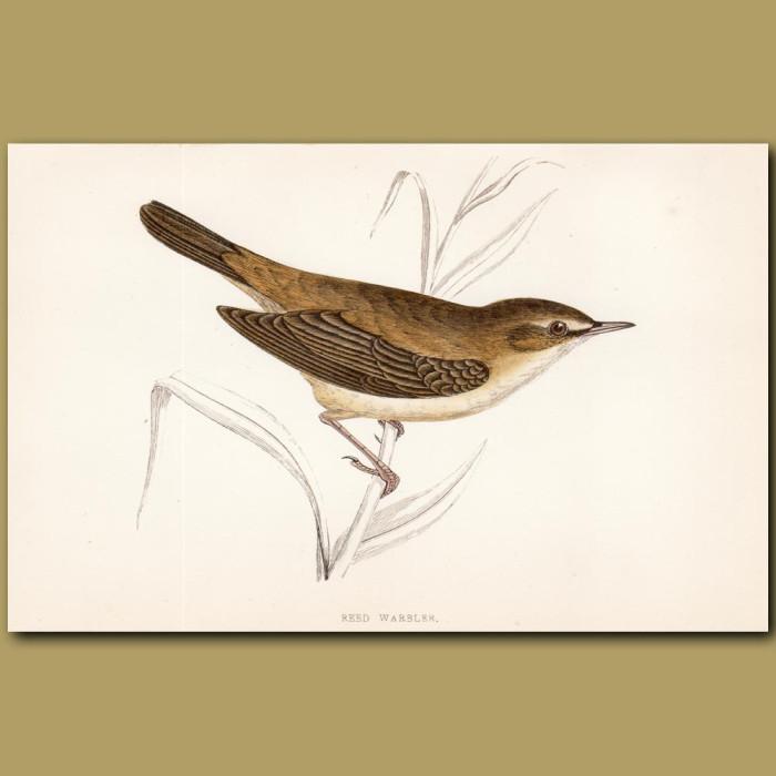 Reed Warbler: Genuine antique print for sale.