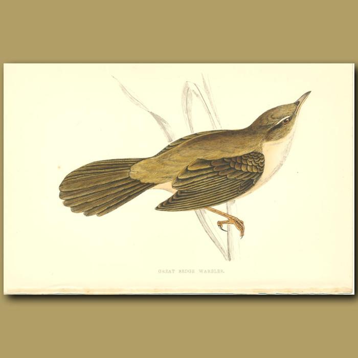 Antique print. Great Sedge Warbler