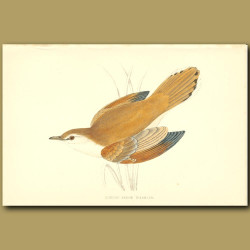 Rufous Sedge Warbler