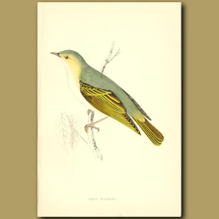 Antique print. Wood Warbler