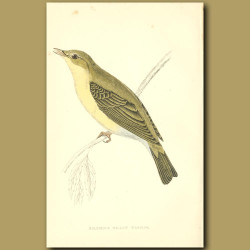 Melodious Willow Warbler