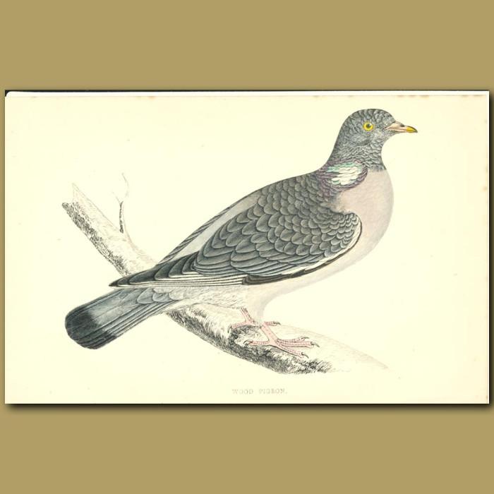 Antique print. Wood Pigeon