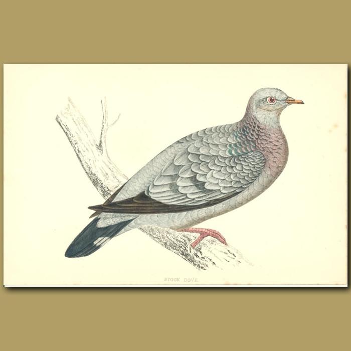 Antique print. Stock Dove