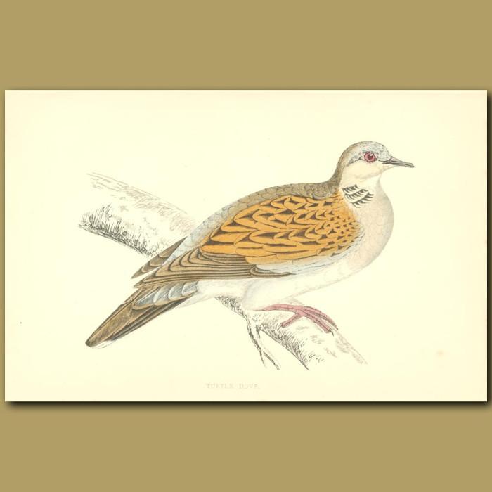 Antique print. Turtle Dove