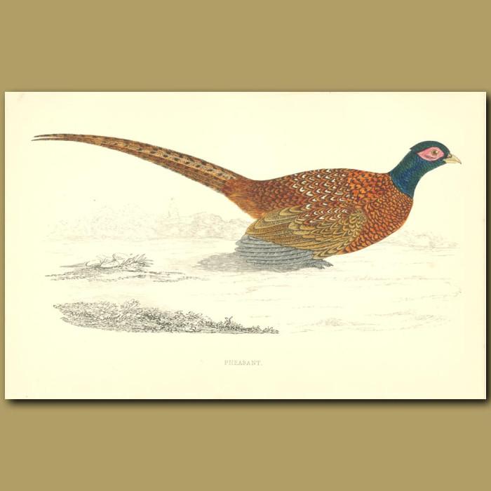 Antique print. Pheasant