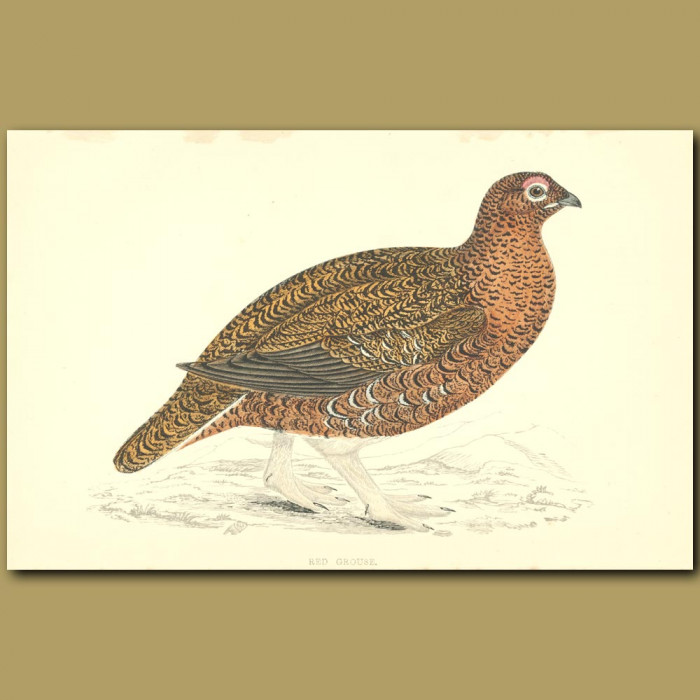 Antique print. Red Grouse