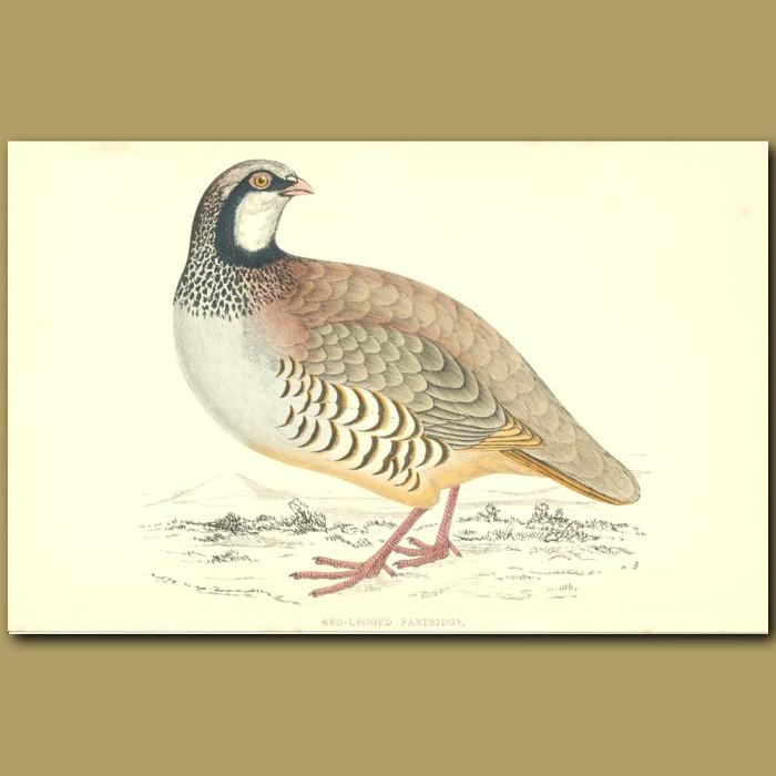 Antique print. Red-legged Partridge
