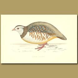 Barbary Partridge