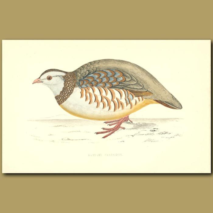 Antique print. Barbary Partridge
