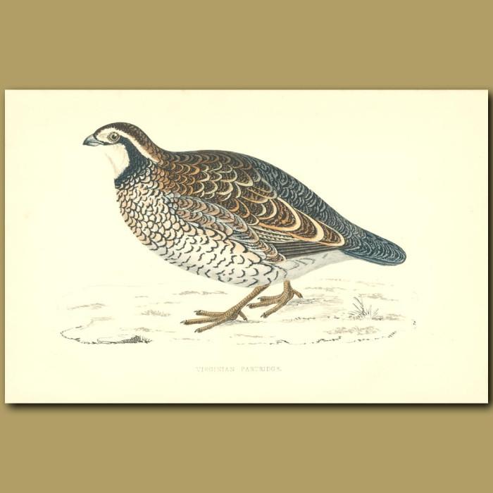 Antique print. Virginian Partridge