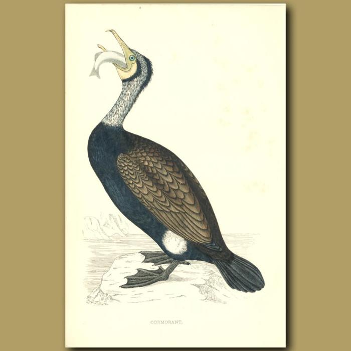 Antique print. Cormorant