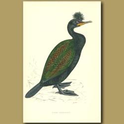 Green Cormorant
