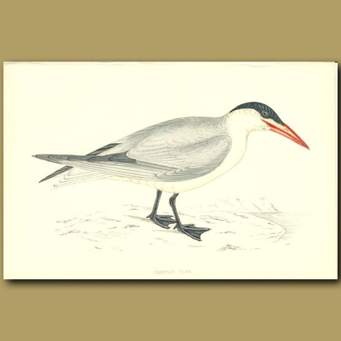 Antique print. Caspian Tern