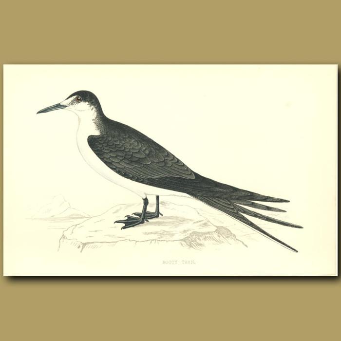 Antique print. Sooty Tern