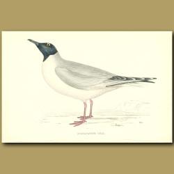 Buonaparte's Gull