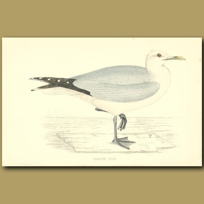 Antique print. Common Gull