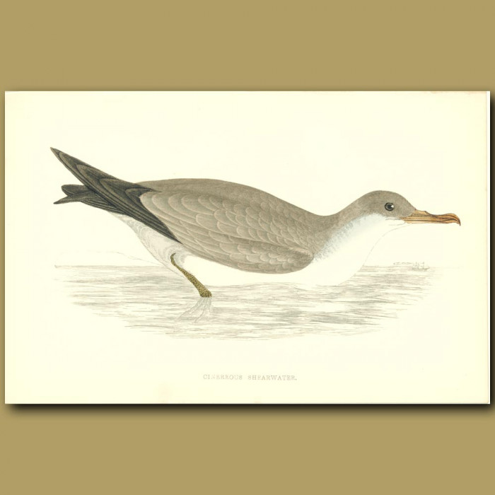 Antique print. Cinereous Shearwater