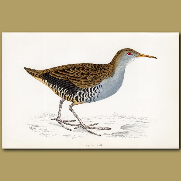 Water Rail: Genuine antique print for sale.