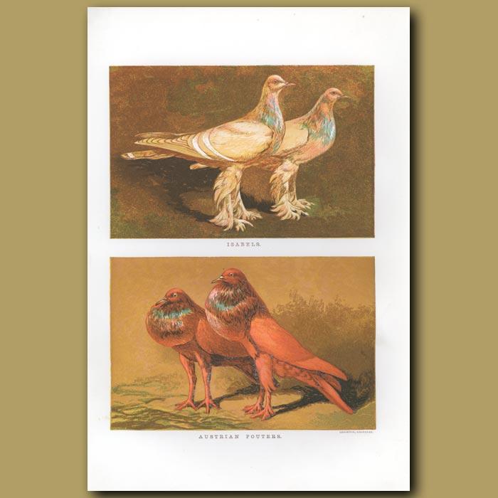 Antique print. Isabel and Austrian Pouter Pigeons