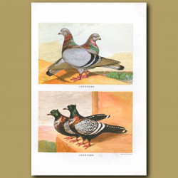 Antwerp And Suabian Pigeons