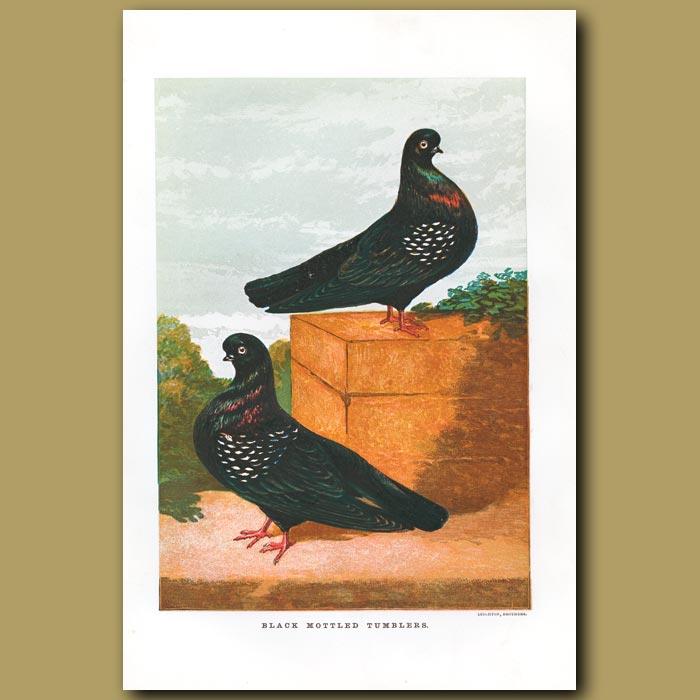 Antique print. Black Mottled Tumbler Pigeons