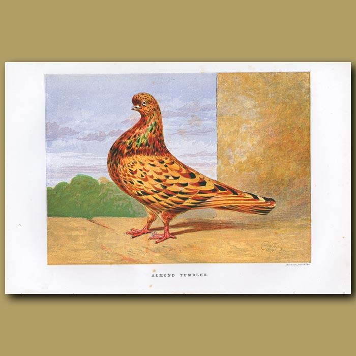 Antique print. Almond Tumbler Pigeon