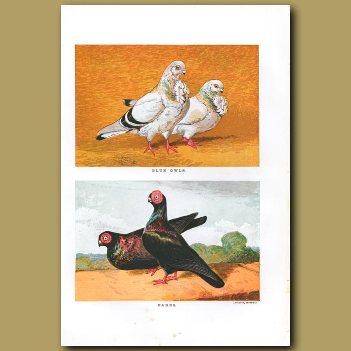 Antique print. Blue Owl and Barb Pigeons