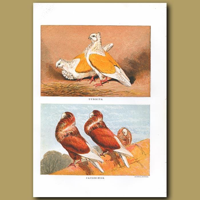 Antique print. Turbit and Jacobine Pigeons