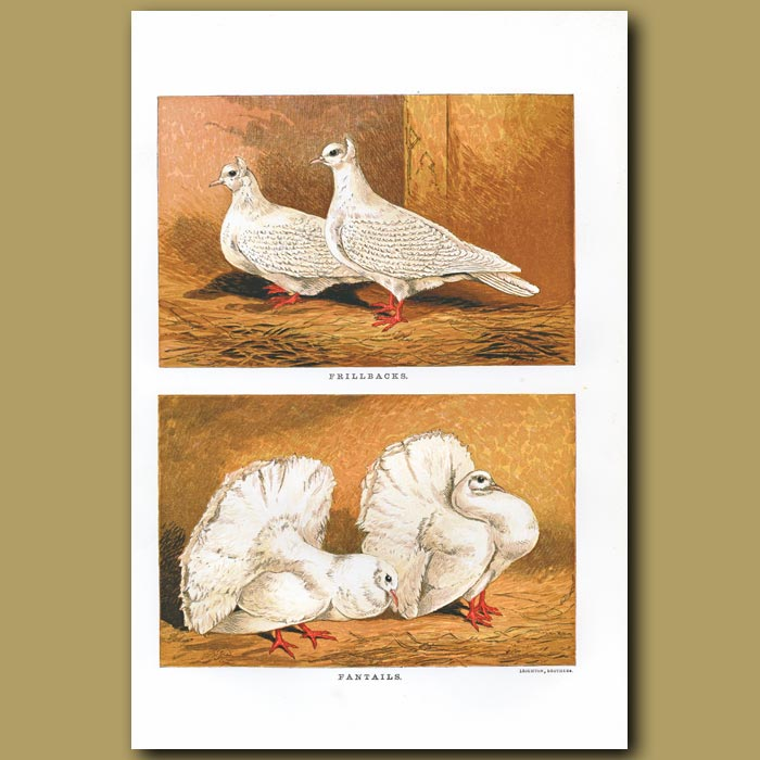Antique print. Frillback and Fantail Pigeons