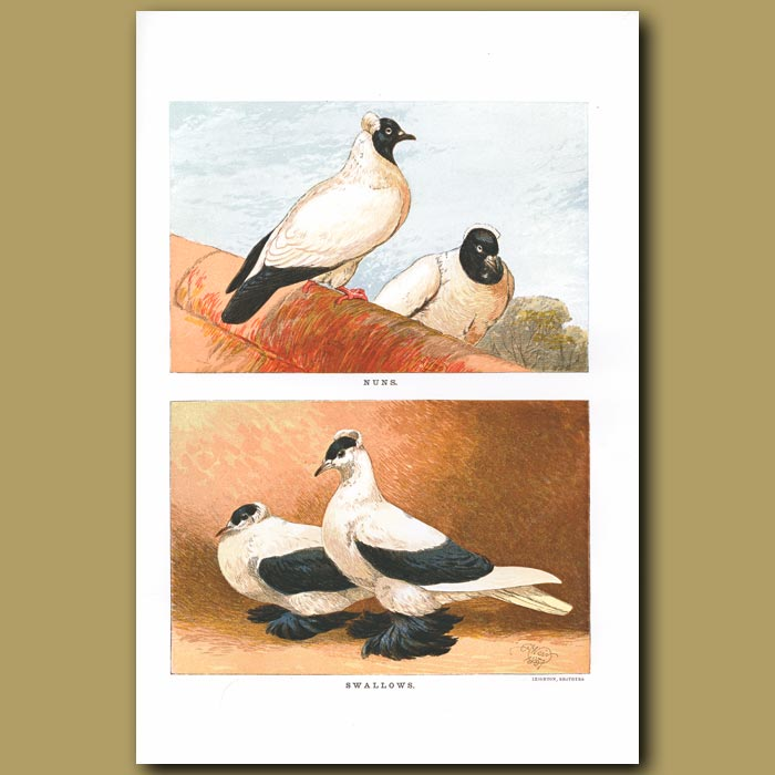 Antique print. Nun and Swallow Pigeons