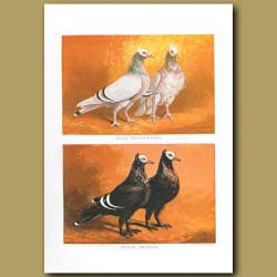 Blue Brunswick And Black Priest Pigeons