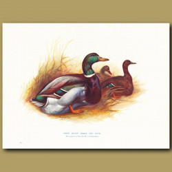 Prize Rouen Drake And Duck