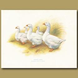 Embden Geese