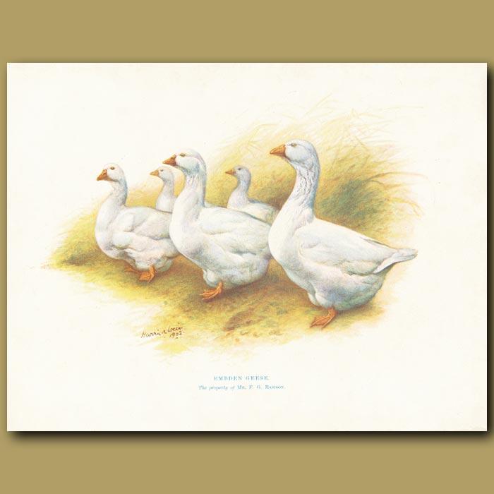Antique print. Embden Geese