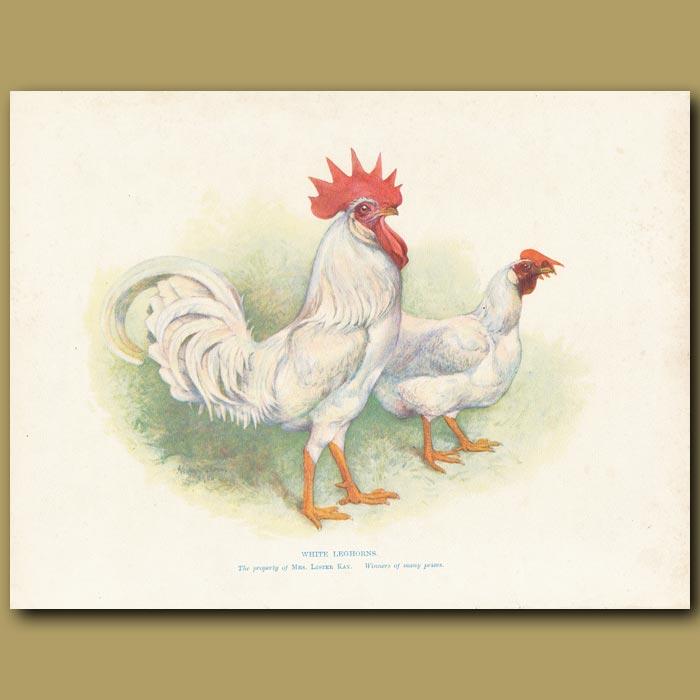 Antique print. White Leghorns