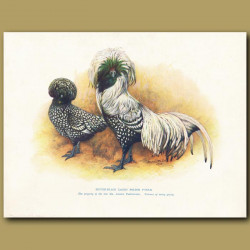 Silver-Black Laced Polish Fowls