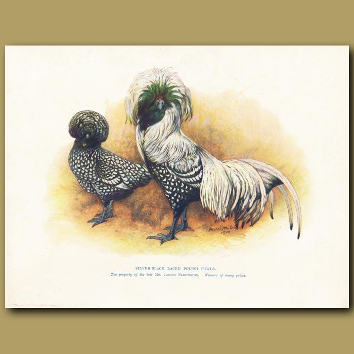 Antique print. Silver-black Laced Polish Fowls