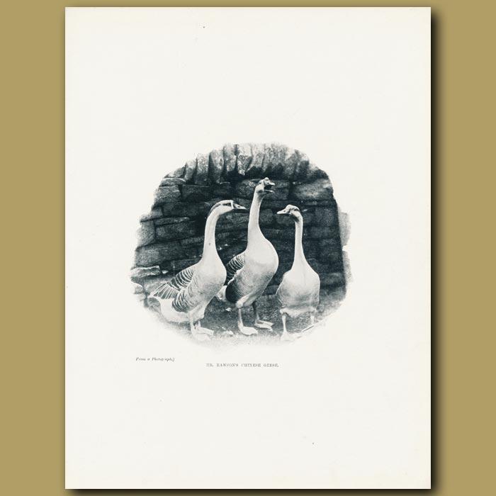 Antique print. Mr Rawson's Chinese Geese