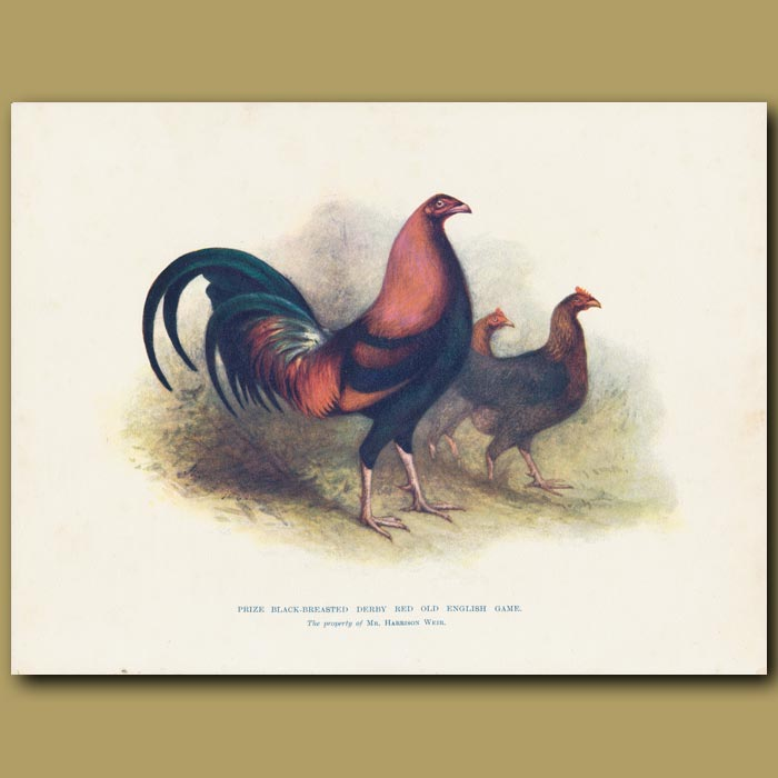 Antique print. Prize Black-breasted Derby Red Old English Game