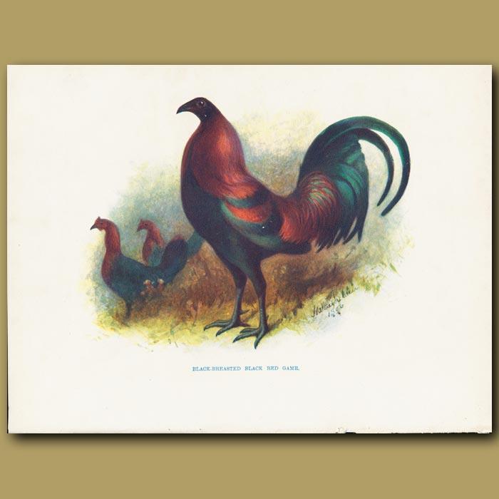Antique print. Black-breasted Black Red Game