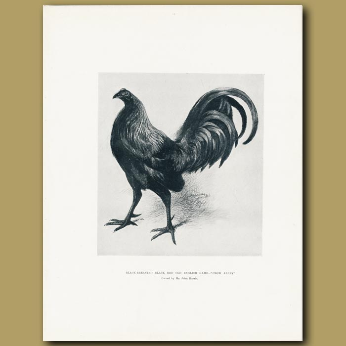 Antique print. Black-breasted Black Red Old English Game 'Crow Alley'