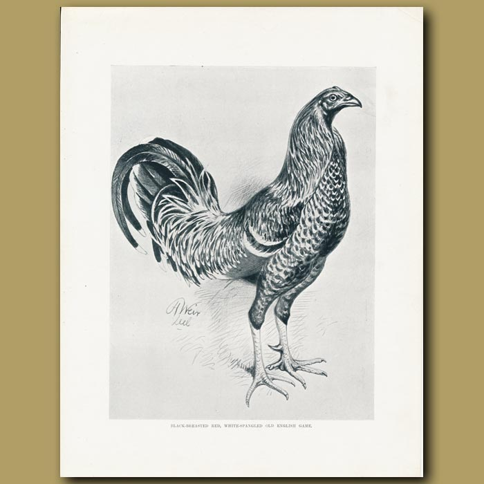 Antique print. Black-breasted Red, White-spangled Old English Game