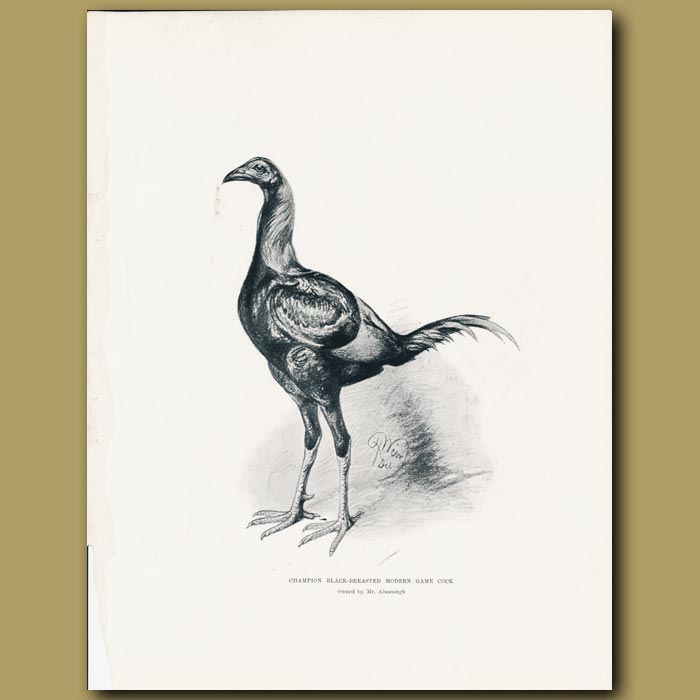 Antique print. Champion Black-breasted modern Game Cock