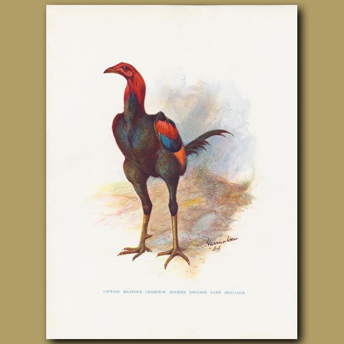 Antique print. Captain Heaton's champion Modern English Game Stag-cock