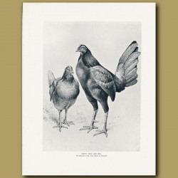 Henny Cock And Hen