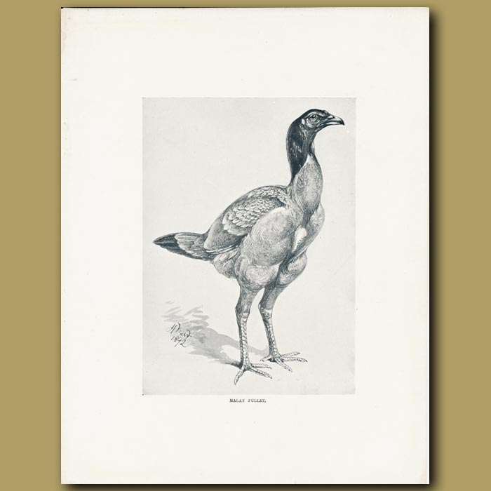 Antique print. Malay Pullet