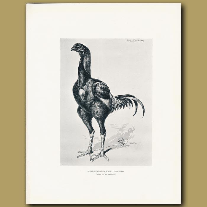 Antique print. Australian Bred Malay Cockerel