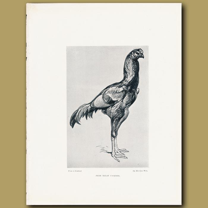 Antique print. Prize Malay Cockerel