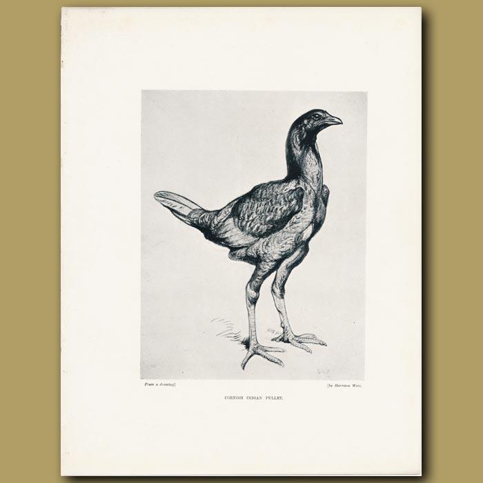 Antique print. Cornish Indian Pullet