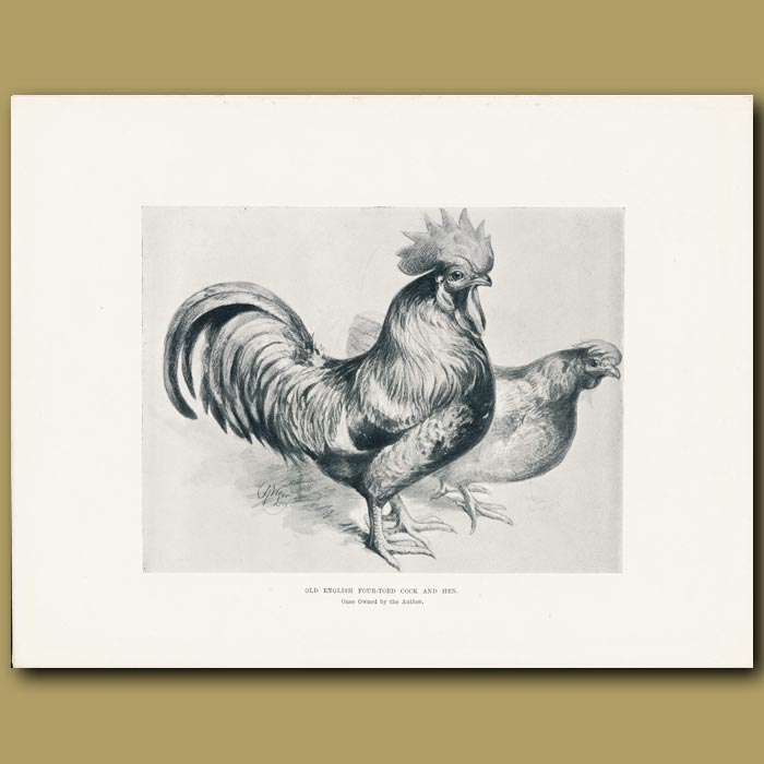 Antique print. Old English Four-toed Cock and Hen